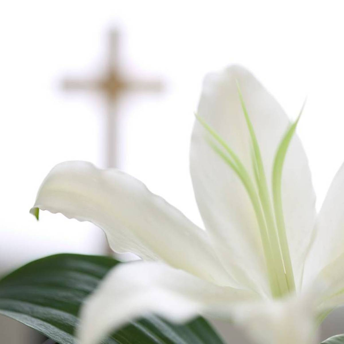 easter-lily1